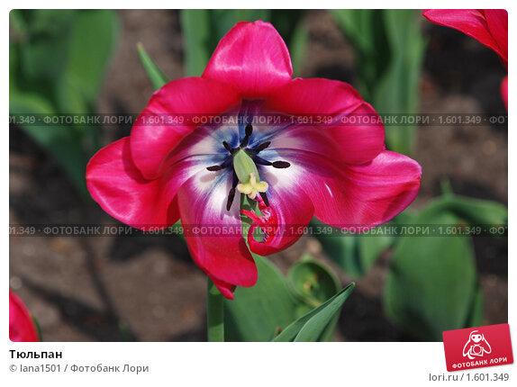 Купить «Тюльпан», эксклюзивное фото № 1601349, снято 11 мая 2009 г. (c) lana1501 / Фотобанк Лори