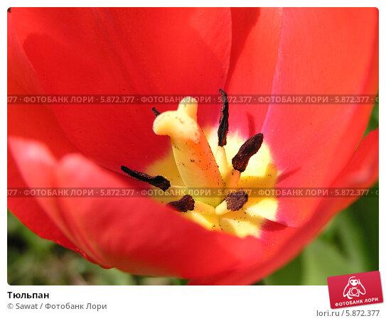 Тюльпан. Стоковое фото, фотограф Sawat / Фотобанк Лори