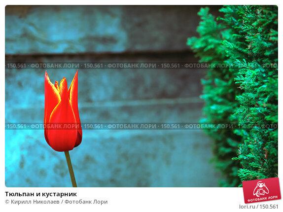 Тюльпан и кустарник, фото № 150561, снято 25 июня 2017 г. (c) Кирилл Николаев / Фотобанк Лори