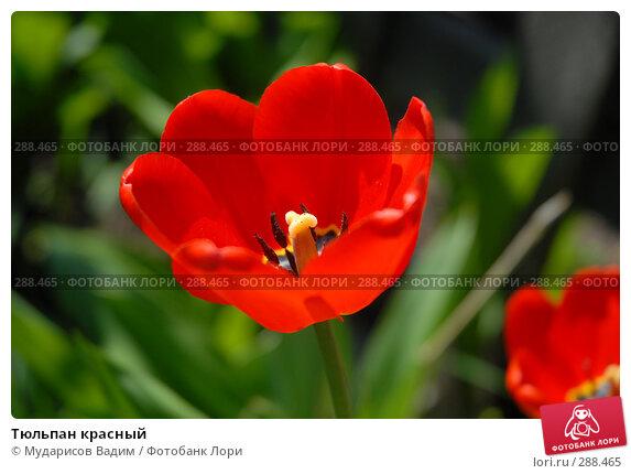 Тюльпан красный, фото № 288465, снято 17 мая 2008 г. (c) Мударисов Вадим / Фотобанк Лори