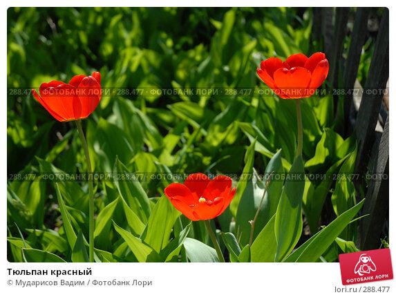 Тюльпан красный, фото № 288477, снято 17 мая 2008 г. (c) Мударисов Вадим / Фотобанк Лори