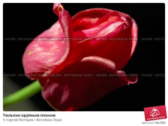 Тюльпан крупным планом, фото № 144909, снято 22 мая 2007 г. (c) Сергей Пестерев / Фотобанк Лори
