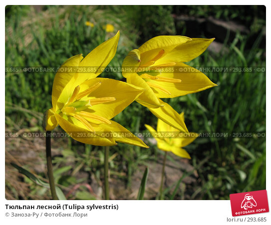 Купить «Тюльпан лесной (Tulipa sylvestris)», фото № 293685, снято 17 мая 2008 г. (c) Заноза-Ру / Фотобанк Лори