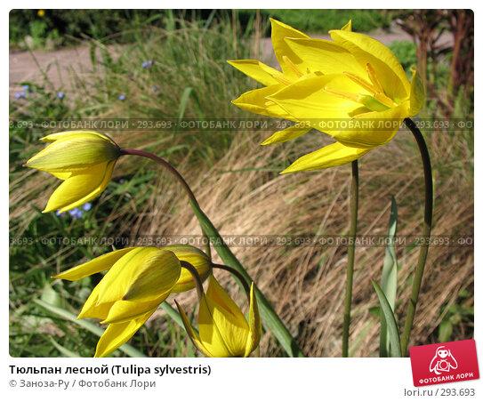 Тюльпан лесной (Tulipa sylvestris), фото № 293693, снято 17 мая 2008 г. (c) Заноза-Ру / Фотобанк Лори