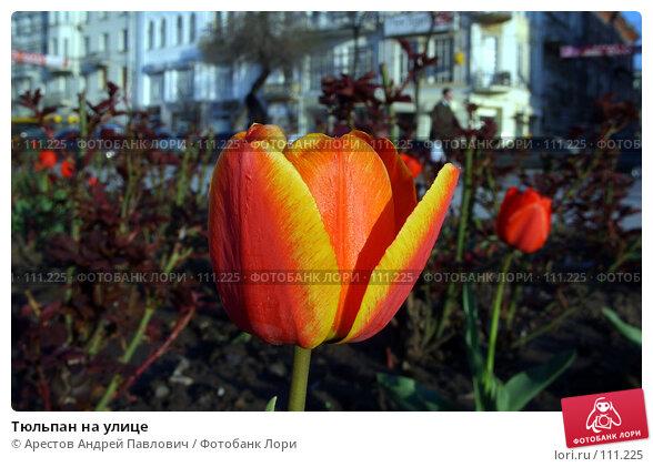 Тюльпан на улице, фото № 111225, снято 18 октября 2006 г. (c) Арестов Андрей Павлович / Фотобанк Лори