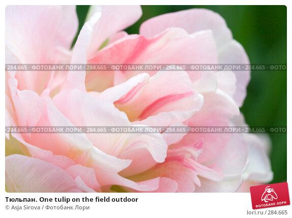 Купить «Тюльпан. One tulip on the field outdoor», фото № 284665, снято 11 мая 2008 г. (c) Asja Sirova / Фотобанк Лори