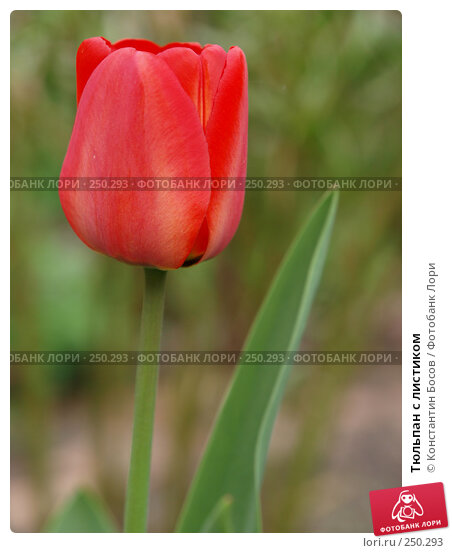 Купить «Тюльпан с листиком», фото № 250293, снято 21 апреля 2018 г. (c) Константин Босов / Фотобанк Лори