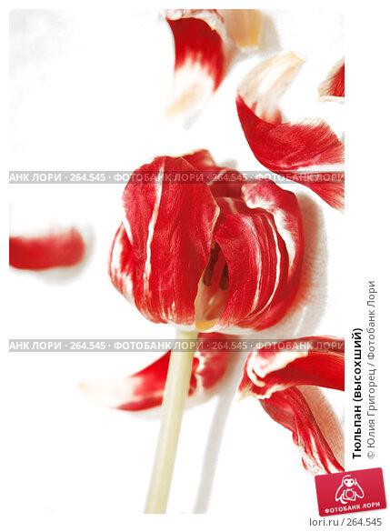 Тюльпан (высохший), фото № 264545, снято 12 марта 2008 г. (c) Юлия Севастьянова / Фотобанк Лори
