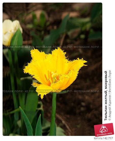 Тюльпан желтый, махровый, фото № 42717, снято 22 июля 2017 г. (c) Андрей Жданов / Фотобанк Лори