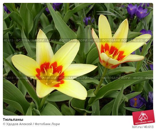 Купить «Тюльпаны», фото № 40613, снято 18 апреля 2007 г. (c) Удодов Алексей / Фотобанк Лори