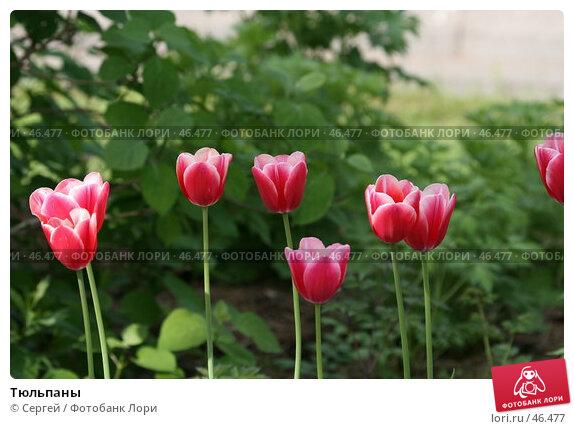 Тюльпаны, фото № 46477, снято 19 мая 2007 г. (c) Сергей / Фотобанк Лори