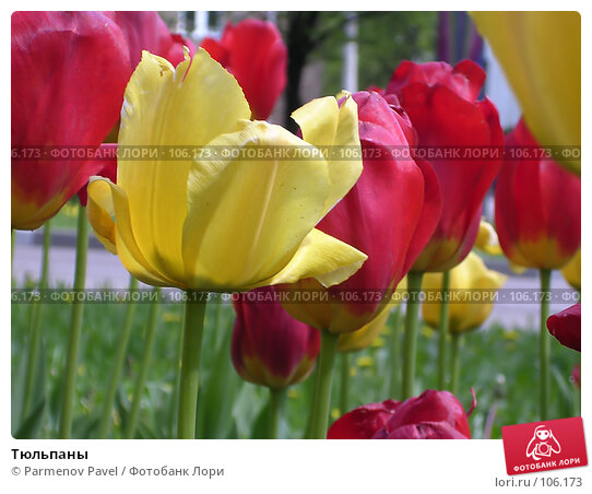 Тюльпаны, фото № 106173, снято 29 мая 2004 г. (c) Parmenov Pavel / Фотобанк Лори