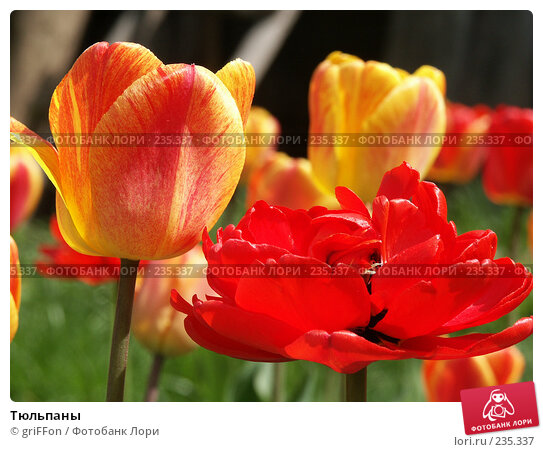 Купить «Тюльпаны», фото № 235337, снято 17 мая 2006 г. (c) griFFon / Фотобанк Лори