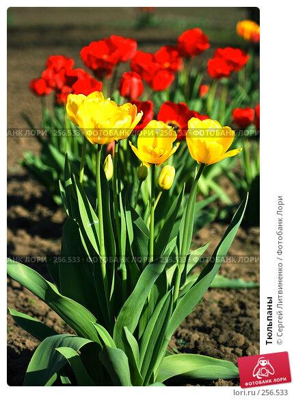 Тюльпаны, фото № 256533, снято 19 апреля 2008 г. (c) Сергей Литвиненко / Фотобанк Лори