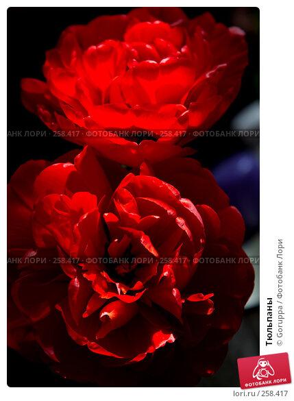 Тюльпаны, фото № 258417, снято 1 января 2004 г. (c) Goruppa / Фотобанк Лори