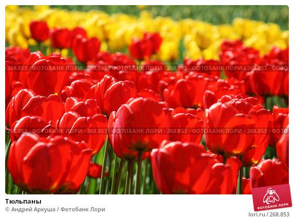 Купить «Тюльпаны», фото № 268853, снято 25 апреля 2008 г. (c) Андрей Аркуша / Фотобанк Лори
