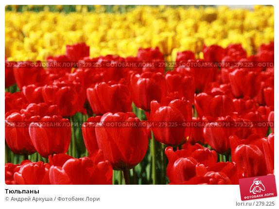 Тюльпаны, фото № 279225, снято 25 апреля 2008 г. (c) Андрей Аркуша / Фотобанк Лори