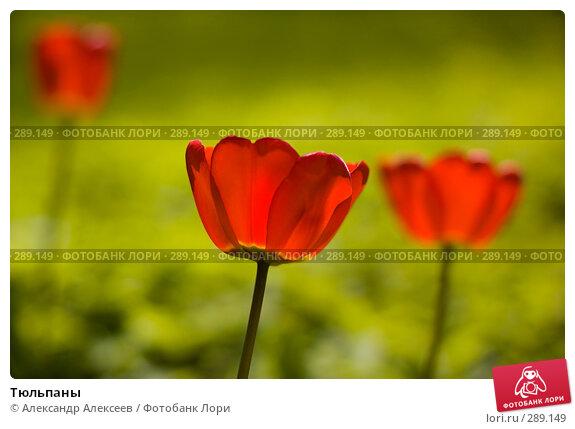 Купить «Тюльпаны», эксклюзивное фото № 289149, снято 17 мая 2008 г. (c) Александр Алексеев / Фотобанк Лори
