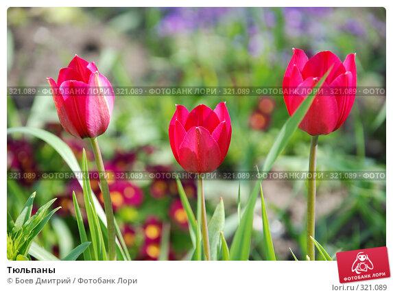 Тюльпаны, фото № 321089, снято 18 мая 2008 г. (c) Боев Дмитрий / Фотобанк Лори