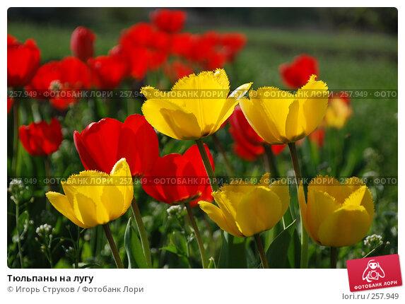 Тюльпаны на лугу, фото № 257949, снято 26 апреля 2017 г. (c) Игорь Струков / Фотобанк Лори