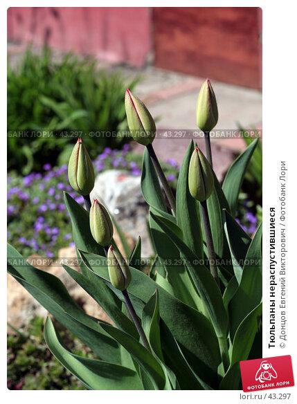 Тюльпаны нераспустившиеся, фото № 43297, снято 6 мая 2007 г. (c) Донцов Евгений Викторович / Фотобанк Лори