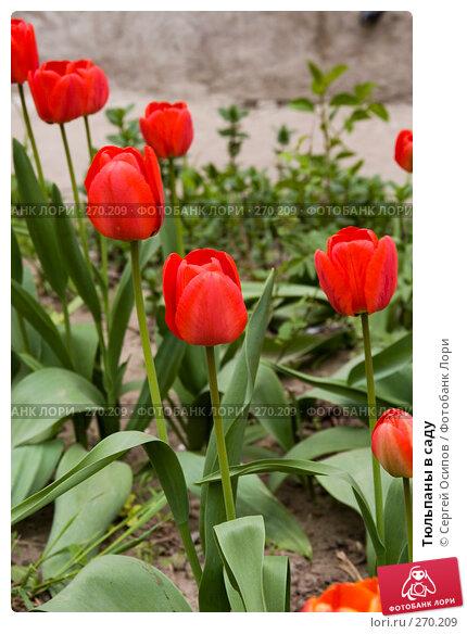 Тюльпаны в саду, фото № 270209, снято 16 апреля 2008 г. (c) Сергей Осипов / Фотобанк Лори