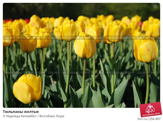 Тюльпаны желтые, фото № 256497, снято 13 мая 2007 г. (c) Надежда Келембет / Фотобанк Лори