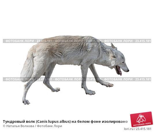 Купить «Тундровый волк (Canis lupus albus) на белом фоне изолировано», фото № 23415181, снято 5 августа 2016 г. (c) Наталья Волкова / Фотобанк Лори
