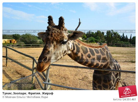 Тунис.Зоопарк Фригия. Жираф, фото № 24551461, снято 8 октября 2016 г. (c) Мовчан Ольга / Фотобанк Лори