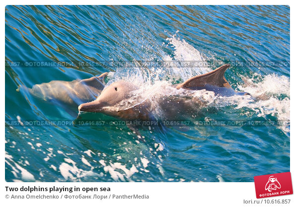 Two dolphins playing in open sea. Стоковое фото, фотограф Anna Omelchenko / PantherMedia / Фотобанк Лори
