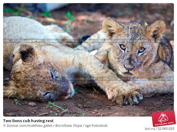 Two lions cub having rest. Стоковое фото, фотограф Zoonar.com/matthieu gallet / age Fotostock / Фотобанк Лори