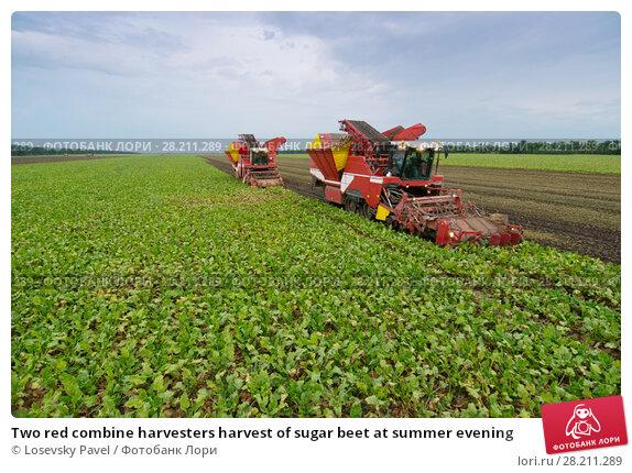 Купить «Two red combine harvesters harvest of sugar beet at summer evening», фото № 28211289, снято 18 августа 2015 г. (c) Losevsky Pavel / Фотобанк Лори