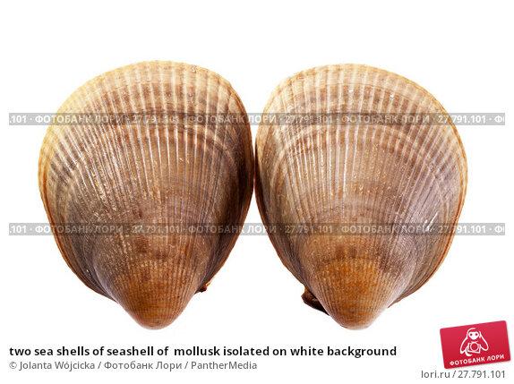 Купить «two sea shells of seashell of  mollusk isolated on white background», фото № 27791101, снято 16 октября 2018 г. (c) PantherMedia / Фотобанк Лори
