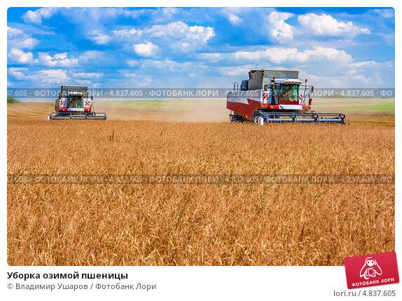 Купить «Уборка озимой пшеницы», фото № 4837605, снято 21 июня 2013 г. (c) Владимир Ушаров / Фотобанк Лори