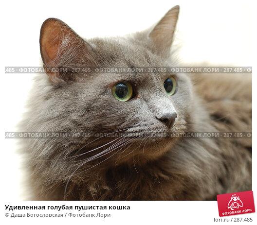 Удивленная голубая пушистая кошка, фото № 287485, снято 19 апреля 2008 г. (c) Даша Богословская / Фотобанк Лори