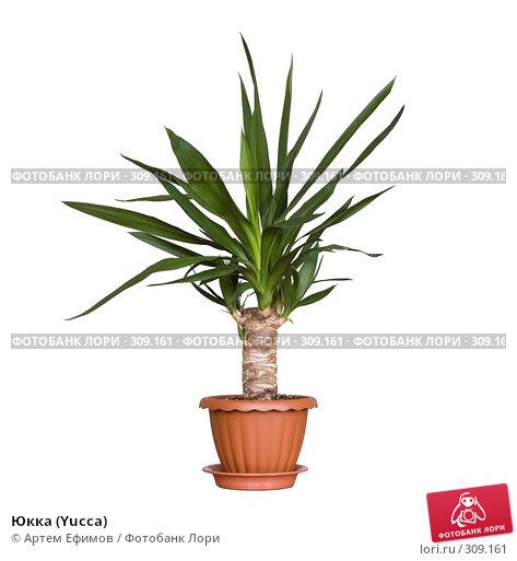 Купить «Юкка (Yucca)», фото № 309161, снято 28 мая 2008 г. (c) Артем Ефимов / Фотобанк Лори
