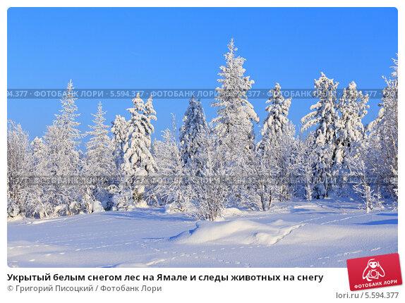 Купить «Укрытый белым снегом лес на Ямале и следы животных на снегу», фото № 5594377, снято 10 февраля 2014 г. (c) Григорий Писоцкий / Фотобанк Лори