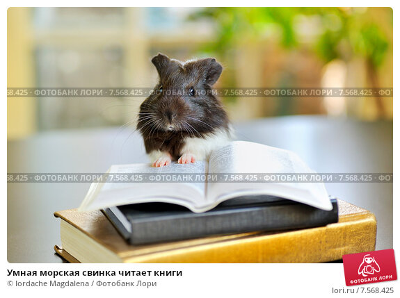 Купить «Умная морская свинка читает книги», фото № 7568425, снято 11 мая 2010 г. (c) Iordache Magdalena / Фотобанк Лори