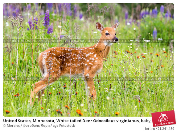 an overview of the whitetail deer odocoileus virginianus
