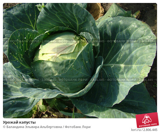 Урожай капусты. Стоковое фото, фотограф Баландина Эльвира Альбертовна / Фотобанк Лори