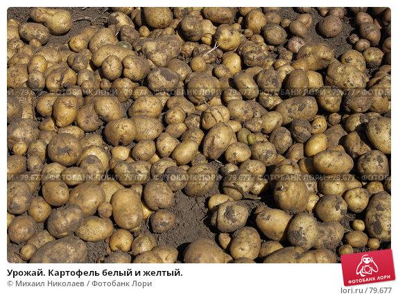 Урожай. Картофель белый и желтый., фото № 79677, снято 30 августа 2007 г. (c) Михаил Николаев / Фотобанк Лори