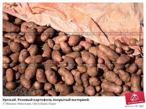 Урожай. Розовый картофель покрытый материей., фото № 91981, снято 9 сентября 2007 г. (c) Михаил Николаев / Фотобанк Лори