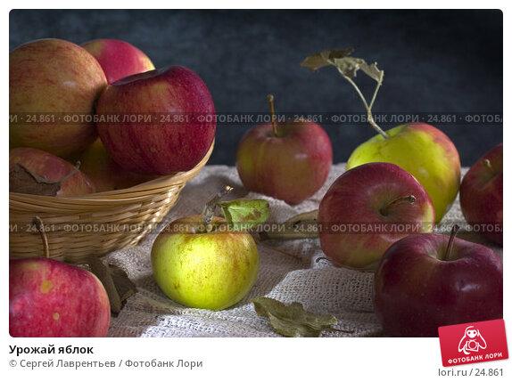 Купить «Урожай яблок», фото № 24861, снято 19 марта 2018 г. (c) Сергей Лаврентьев / Фотобанк Лори