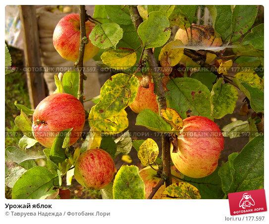 Урожай яблок, фото № 177597, снято 1 июля 2003 г. (c) Тавруева Надежда / Фотобанк Лори
