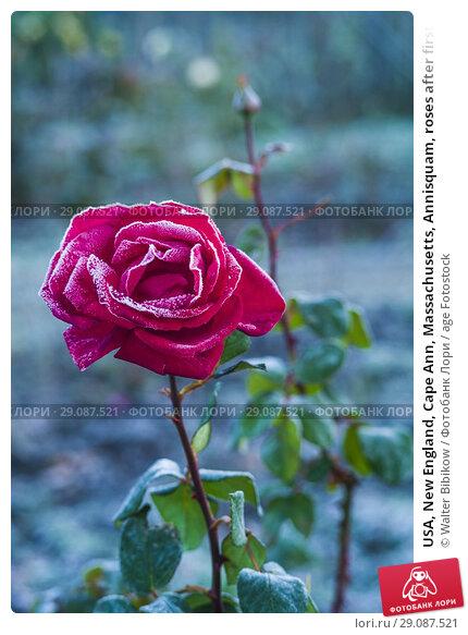Купить «USA, New England, Cape Ann, Massachusetts, Annisquam, roses after first frost.», фото № 29087521, снято 9 ноября 2017 г. (c) age Fotostock / Фотобанк Лори