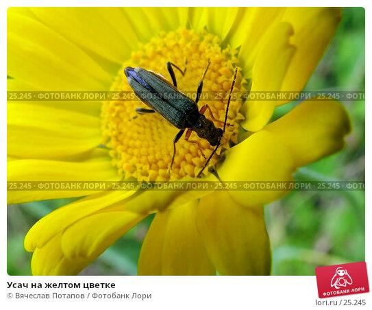 Усач на желтом цветке, фото № 25245, снято 10 июля 2004 г. (c) Вячеслав Потапов / Фотобанк Лори