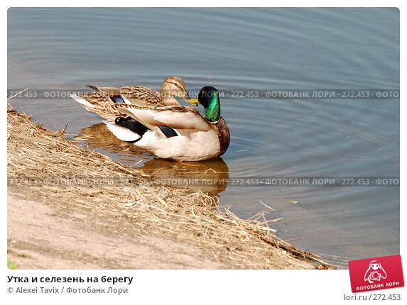 Купить «Утка и селезень на берегу», эксклюзивное фото № 272453, снято 2 мая 2008 г. (c) Alexei Tavix / Фотобанк Лори