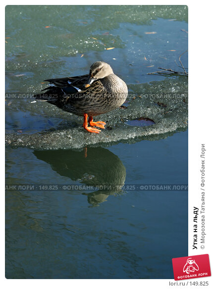 Утка на льду, фото № 149825, снято 12 апреля 2006 г. (c) Морозова Татьяна / Фотобанк Лори