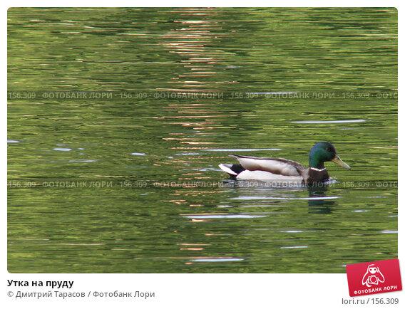 Утка на пруду, фото № 156309, снято 4 июня 2006 г. (c) Дмитрий Тарасов / Фотобанк Лори