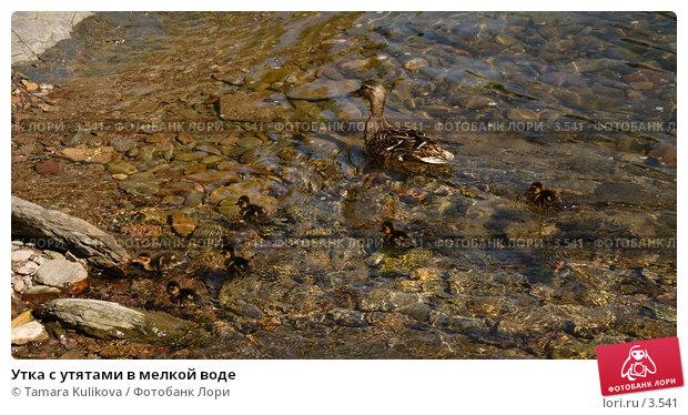 Утка с утятами в мелкой воде, фото № 3541, снято 3 июня 2006 г. (c) Tamara Kulikova / Фотобанк Лори